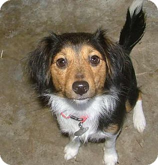 Sheltie, Shetland Sheepdog Mix Dog for adoption in Westport, Connecticut - Missy