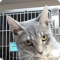 Adopt A Pet :: Sugar Plum - St. Petersburg, FL