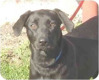 Labrador Retriever Mix Dog for adoption in Austin, Minnesota - Lindsey