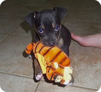 Boston Terrier/Labrador Retriever Mix Puppy for adoption in Chattanooga, Tennessee - Lonnie