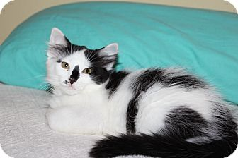 Manx Kitten for adoption in The Woodlands, Texas - Prius