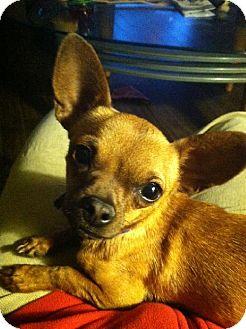 Chihuahua Dog for adoption in Chandler, Arizona - Rosie
