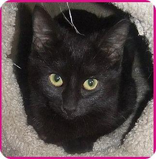 Domestic Shorthair Kitten for adoption in Saint Clair Shores, Michigan - Mercedes