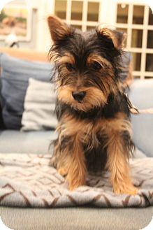 Yorkie, Yorkshire Terrier Mix Puppy for adoption in Allentown, Pennsylvania - Sarge