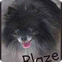Adopt A Pet :: Blaze - Orange, CA
