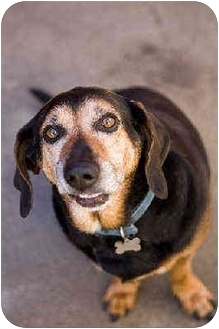 Basset Hound Mix Dog for adoption in Portland, Oregon - CowBoy