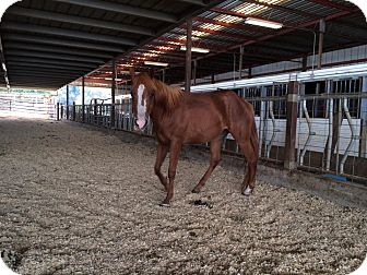 Quarterhorse/Arabian Mix for adoption in Sac, California - Freya
