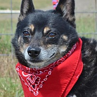 Schipperke/Chihuahua Mix Dog for adoption in Liverpool, Texas - GINO