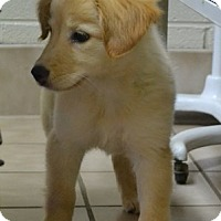 Adopt A Pet :: Kaylee - Knoxvillle, TN