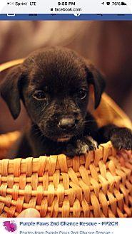 Beagle/Hound (Unknown Type) Mix Puppy for adoption in Fredericksburg, Virginia - Miles-Adoption Pending