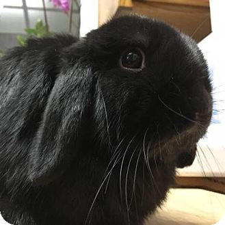 Mini Lop Mix for adoption in Los Angeles, California - Maxwell
