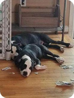 American Staffordshire Terrier Puppy for adoption in Warren, Michigan - Lady 1