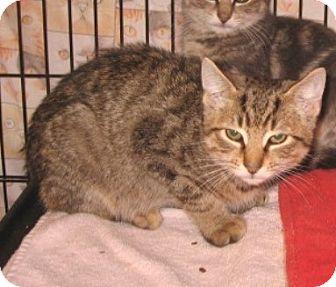 Domestic Shorthair Kitten for adoption in Colmar, Pennsylvania - Colin