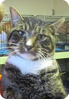 Domestic Shorthair Cat for adoption in Reeds Spring, Missouri - Bryce