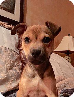 Boxer/German Shepherd Dog Mix Puppy for adoption in Chicago, Illinois - Brienne
