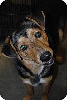 German Shepherd Dog/Collie Mix Dog for adoption in Crowley, Louisiana - Able
