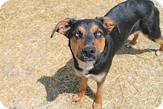 German Shepherd Dog/Labrador Retriever Mix Dog for adoption in Pittsburg, Kansas - Duchess