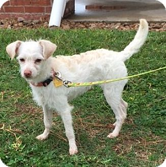 Chihuahua/Terrier (Unknown Type, Small) Mix Puppy for adoption in Cat Spring, Texas - Chloe the Chihuahua
