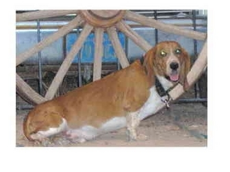 Basset Hound Dog for adoption in Phoenix, Arizona - Red