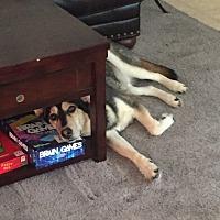Husky/German Shepherd Dog Mix Dog for adoption in Killeen, Texas - Chase
