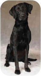 Labrador Retriever Mix Dog for adoption in Chicago, Illinois - Ebony(ADOPTED!)