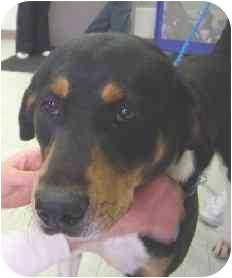 Rottweiler/Hound (Unknown Type) Mix Dog for adoption in Elwood, Illinois - Angelo XXX URGENT