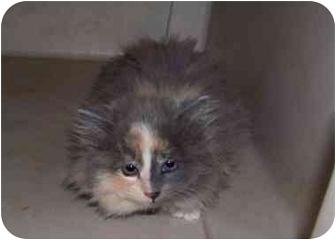 Domestic Longhair Kitten for adoption in Sumner, Iowa - Cuddles