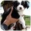 Photo 1 - Border Collie Mix Puppy for adoption in Leoti, Kansas - Nicky II