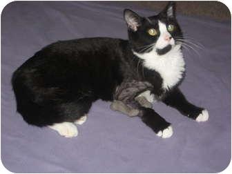 Domestic Shorthair Kitten for adoption in Jeffersonville, Indiana - Kaboom