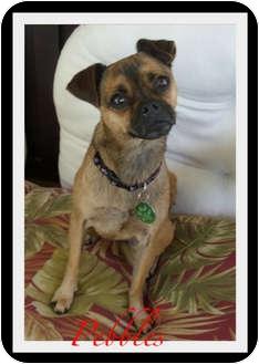 Pug/Boston Terrier Mix Dog for adoption in Orange, California - Pebbles