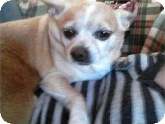 Chihuahua Dog for adoption in Mount Kisco, New York - Jojo