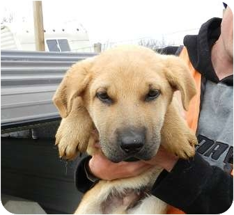 Shar Pei/Shepherd (Unknown Type) Mix Puppy for adoption in Lawrenceburg, Tennessee - Rufus
