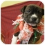 Photo 2 - American Pit Bull Terrier Mix Puppy for adoption in Rockingham, North Carolina - Piper