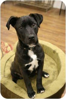 Labrador Retriever/German Shepherd Dog Mix Puppy for adoption in Lake Odessa, Michigan - Wren