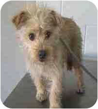 Terrier (Unknown Type, Medium) Mix Dog for adoption in Encino, California - Kirby