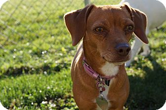 Dachshund/Beagle Mix Dog for adoption in Plainfield, Illinois - TOPANGA