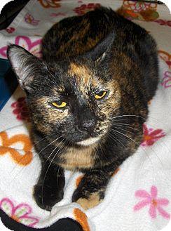 Domestic Shorthair Cat for adoption in Richmond, Virginia - Karla