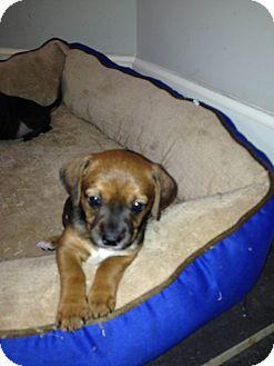 Rat Terrier Mix Puppy for adoption in South Dennis, Massachusetts - June