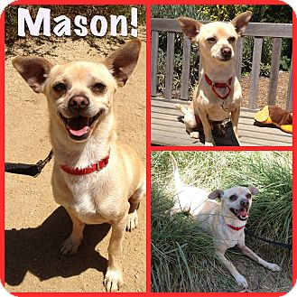 Chihuahua Mix Dog for adoption in Mission Viejo, California - Mason