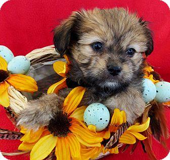 Shih Tzu/Pomeranian Mix Puppy for adoption in Irvine, California - Sparrow