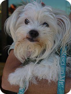 Maltese Dog for adoption in Baton Rouge, Louisiana - Chloe