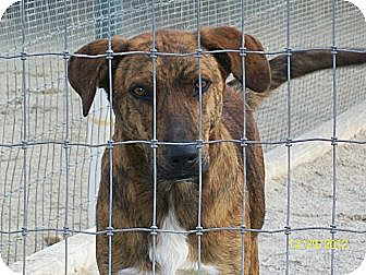 Catahoula Leopard Dog/Labrador Retriever Mix Dog for adoption in Mexia, Texas - Breezy