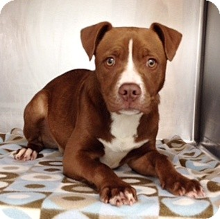 Pit Bull Terrier Mix Puppy for adoption in Dublin, California - Linus