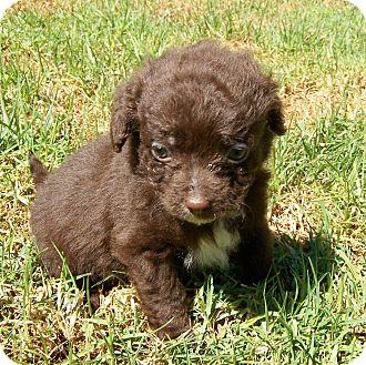 Cocker Spaniel/King Charles Spaniel Mix Puppy for adoption in La Habra Heights, California - Robin