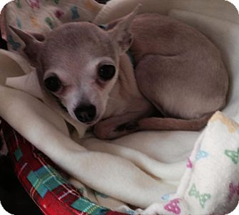 Chihuahua Dog for adoption in Pierrefonds, Quebec - SweetPea