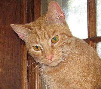 Manx Cat for adoption in Bedford, Virginia - BunBun