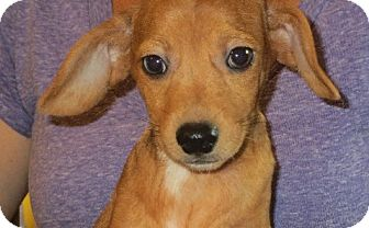 Dachshund Mix Puppy for adoption in Rochester, New York - Mateo
