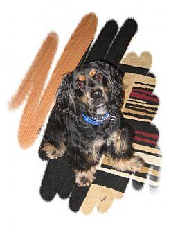 Cocker Spaniel Dog for adoption in Rigaud, Quebec - Bobby