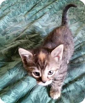 Domestic Shorthair Kitten for adoption in Woodstock, Ontario - Dottee