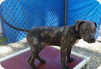 Pit Bull Terrier Mix Puppy for adoption in Framingham, Massachusetts - Jameson